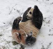 Gấu trúc vui đùa trong tuyết