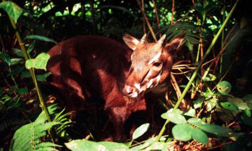 Sao la, một trong những loài bị đe dọa tuyệt chủng ở mức cao của Việt Nam