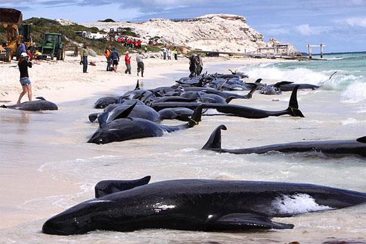 Cá voi dạt bờ do tập trận