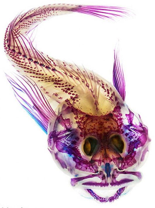 Cá đẹp lung linh nhờ tẩy trắng, nhuộm màu