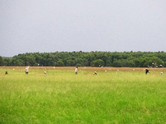 Bảo tồn giống lúa trời độc đáo ở Vườn Quốc gia Tràm Chim