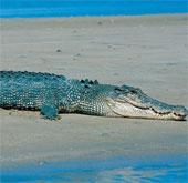 Hung hãn như cá sấu Úc