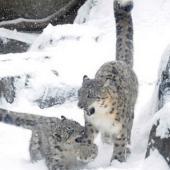 Video: Báo tuyết chơi đùa trong tuyết