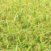Brunei trồng thử nghiệm 10 giống lúa của Việt Nam