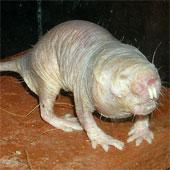 Khoa học vinh danh chuột chũi trụi lông
