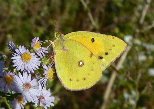 Sâu bướm đang tiến hóa để đối phó với biến đổi khí hậu