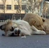 Video: Chó canh xác bạn suốt đêm lạnh