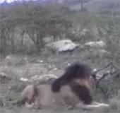 Video: Tê giác phô trương sức mạnh trước bầy sư tử