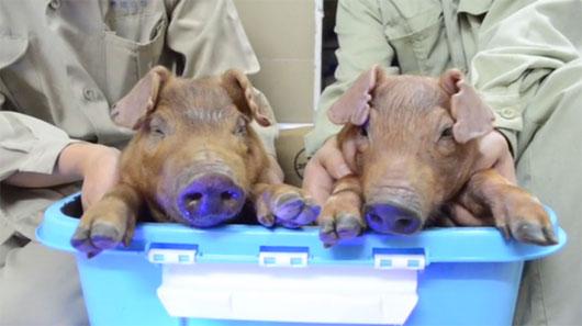 Lợn phát sáng chào đời tại Trung Quốc