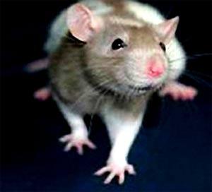 Tạo ra chuột bị bệnh tâm thần để thử nghiệm thuốc