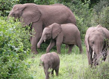 Biết voi nhờ... phân voi