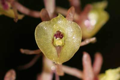 Phát hiện hai loài lan hiếm ở Phú Quốc