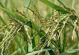 Tạo giống lúa thơm phát triển tốt trên đất nhiễm phèn