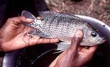 Cá Nile tilapia