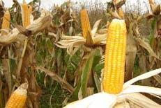 Chi phí sản xuất nhiên liệu sinh học tiên tiến tương đương với chất ethanol chiết xuất từ hạt ngũ cốc.