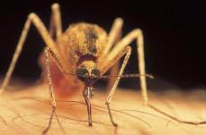 Cá có thể chống lại muỗi gây bệnh sốt rét