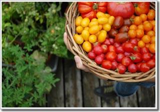Thu hoạch và bảo quản cà chua