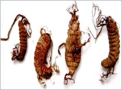 Nghiên cứu trị bệnh bằng côn trùng