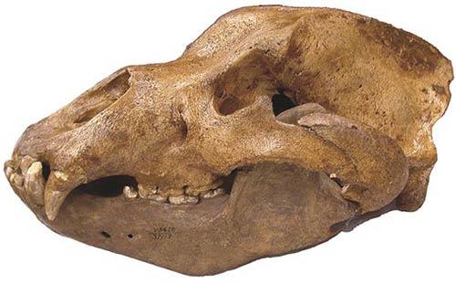 Phát hiện mới về một loài động vật ăn thịt thời đồ đá