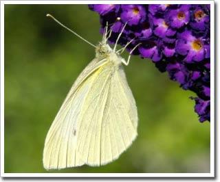 Cấu trúc màu sắc đôi cánh loài bướm