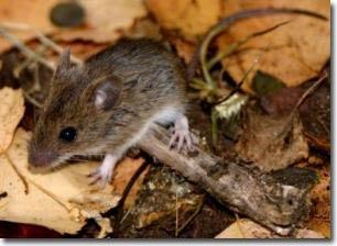 Hiện tượng tiến hóa ở chuột có thể giải thích được bệnh vô sinh ở người