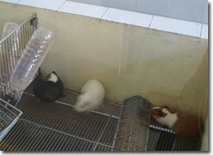 Chuột giúp ngành vắc-xin phát triển