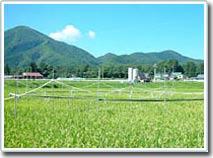 Khí hậu biến đổi đe dọa ruộng lúa Nhật Bản