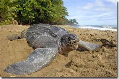 Chuyến đi xa kỷ lục của rùa