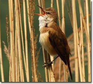 Bí ẩn về khả năng xác định kinh độ và vĩ độ của chim di cư