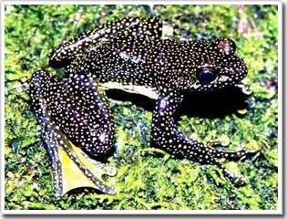Khám phá loài ếch mới ở giáp biên giới Trung - Việt
