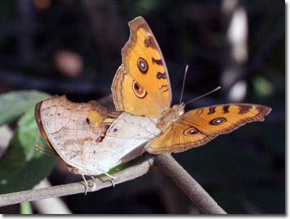 Bộ sưu tập mới về bướm trên đảo Phú Quốc