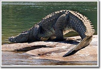 Cơ chế tiêu hóa kỳ lạ của loài cá sấu