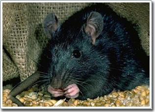"""Chuột - bạn đồng hành """"thân thiết"""" của con người"""