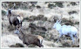 Tìm thấy một con hươu trắng ở Anh