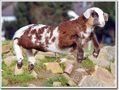 Con vật nửa cừu, nửa dê