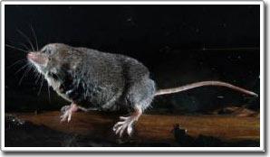 Chuột chù là loài ăn thịt rất tinh vi