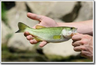 Cá tự chuyển đổi giới tính có liên quan đến dân số và nền nông nghiệp tại lưu vực sông Potomac