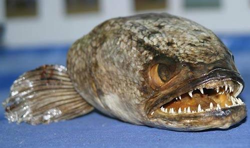 Tìm thấy cá hung tàn ở Anh