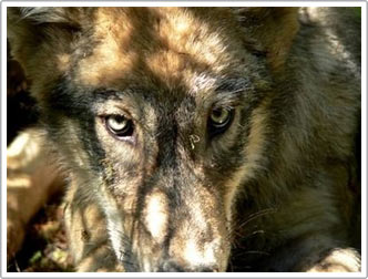 Loại sói phương Bắc khỏi danh sách nguy cơ tuyệt chủng