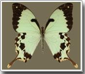Bí mật lớp ngụy trang của loài bướm đuôi nhạn nằm trong gien