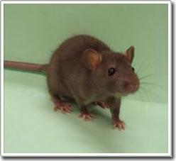 Ria chuột cũng có cảm xúc
