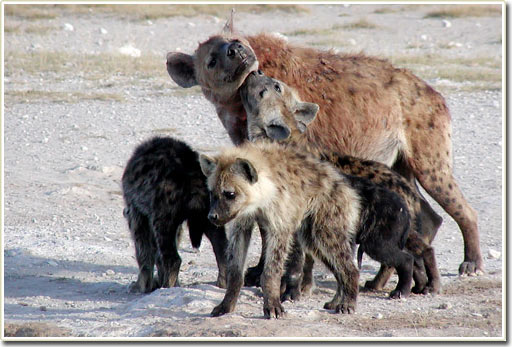 Tính xã hội và sự tinh ranh của loài linh cẩu