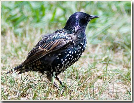 Những con sâu nhiễm bẩn giúp tiếng hót chim sáo đá hay hơn
