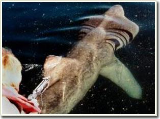 Cá mập di chuyển một cách kỳ lạ để tìm thức ăn