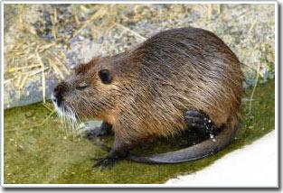 Hợp chất cám dỗ hải ly – loài động vật có hại giống chuột đang tàn phá đầm lầy vịnh Gulf