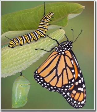 Liệu bướm có nhớ những gì chúng đã học khi còn là sâu?