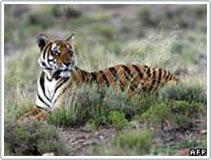 25 năm, số hổ trên thế giới giảm một nửa