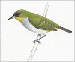 Phát hiện loài chim mới tại Indonesia