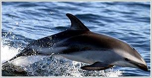 Cá heo giải cứu cá voi