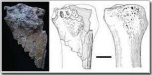 Hóa thạch tê giác khổng lồ ở Anatolia